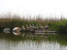 """Колонията на къдроглавия пеликан в ПР """"Сребърна"""""""