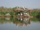 Колонията на къдроглавите пеликани през размножителния период