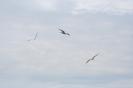Къдроглави пеликани в полет_1