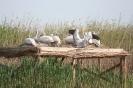 Колонията на къдроглавия пеликан_1