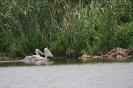 Млади къдроглави пеликани