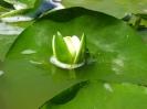 Бяла водна лилия