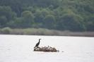 Голям корморан и речна чайка