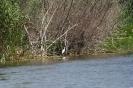 Голяма бяла чапла