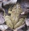 Голяма водна жаба