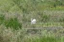 Ням лебед