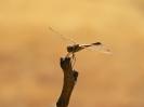 Водно конче, Разред (Odonata)