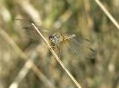 Водно конче Разред (Odonata)