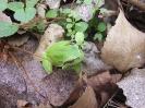 Жаба дървесница