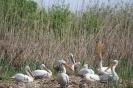 Колонията на къдроглавия пеликан