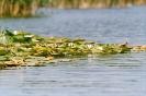 Колония водни лилии