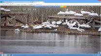 """Първите пеликанчета се излюпиха в резервата """"Сребърна"""""""