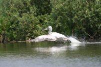 """Първите излюпени пеликани в """"Сребърна"""" вече ловят риба и правят облитания"""