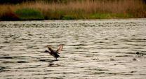 Езерото Сребърна ще бъде зарибено с местен вид риба
