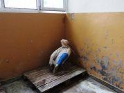 Оцелелият розов пеликан е опериран успешно в Стара Загора
